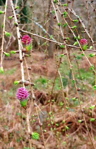 New buds Forest of Dean S.H